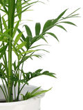 Bamboo palm Stock Photography