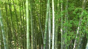 Bamboo panorama stock footage