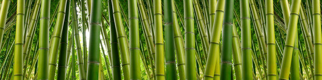 Bamboo Panoramic. Tall stalks of dense green bamboo in a jungle setting Royalty Free Stock Photography