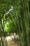 Bamboo in a park Stock Image