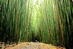 Bamboo Pathway. This image shows bamboo shoots, and was taken in Maui, Hawaii Royalty Free Stock Photography