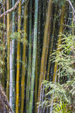 The bamboo, Royalty Free Stock Images