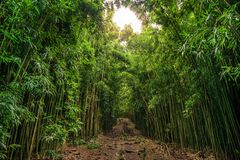 Bamboo on Pipiwai trail in Haleakala National Park, Hawaii. Path through dense bamboo forest leading to famous Waimoku Falls. Popular Pipiwai trail in Haleakala royalty free stock image