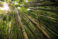 Bamboo on Pipiwai trail in Haleakala National Park, Hawaii. Path through dense bamboo forest leading to famous Waimoku Falls. Popular Pipiwai trail in Haleakala stock image