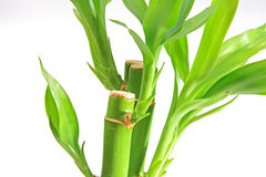 The bamboo plant Stock Photography