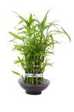 Bamboo plant. Isolated on white background Royalty Free Stock Photos