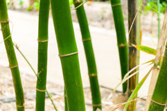Bamboo Plant (Bambuseae). Outdoor background Royalty Free Stock Image