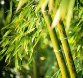 Bamboo plant Stock Image