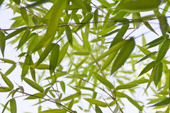 Bamboo plant detail Stock Images