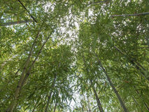 Bamboo plant. Bamboo flowering perennial evergreen plants in the grass family Poaceae stock photos
