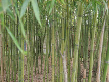 Bamboo plant. Bamboo flowering perennial evergreen plants in the grass family Poaceae royalty free stock photos