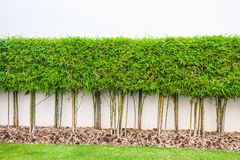 Bamboo plant and green grass wall background. In garden Stock Photos
