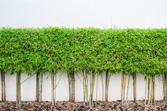 Bamboo plant and green grass wall background. In garden Royalty Free Stock Photos