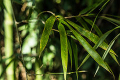 Bamboo Plant. Green Bamboo Plant in the tropical forest Royalty Free Stock Photography