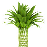Bamboo plant isolated on white Royalty Free Stock Photo