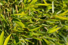 Bamboo. Plant leaves in a grass green stock images