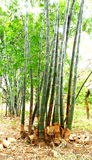 Bamboo Plant Stock Photo
