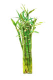 The bamboo plant in the pot isolated Stock Photography