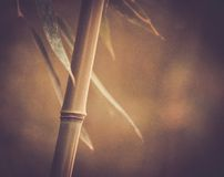 Bamboo plant Royalty Free Stock Images