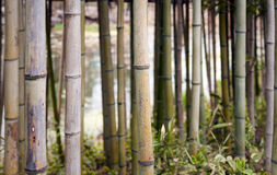 Bamboo plants Stock Images