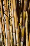Bamboo plants. In the Botanical Gardens Royalty Free Stock Photography
