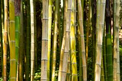 Bamboo. Plants background in a forest stock image