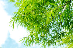 Bamboo plants background Royalty Free Stock Photos