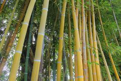 Bamboo plants. Background with some bamboo plants Royalty Free Stock Image