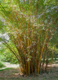 Bamboo plants Royalty Free Stock Photos