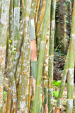 Bamboo plants Royalty Free Stock Photos