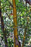 Bamboo Plants in a forest. Dark yellow color living Bamboo Plants in a forest. Bamboo sticks Royalty Free Stock Photography