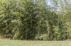 Bamboo plants in golden tones. Bamboo plants in golden and light green royalty free stock photo