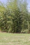 Bamboo plants in golden tones stock images