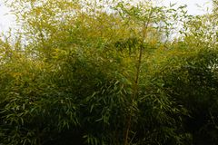 Bamboo plants in a huge bush very high Stock Images