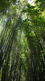 Bamboo Plants Royalty Free Stock Image