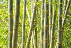 Bamboo Plants in Mindo Ecuador Royalty Free Stock Image
