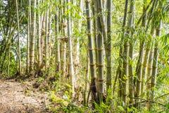 Bamboo Plants in Mindo Ecuador  2 Stock Image