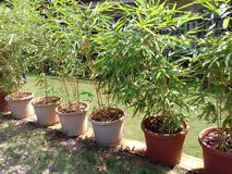 Bamboo plants with pot arranged in a row Royalty Free Stock Photos