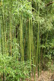 Bamboo Plants. Royalty Free Stock Photo
