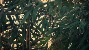 Bamboo Plants In The Wind stock footage