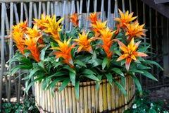 Bamboo pot of Bromeliad Stock Image