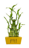 Bamboo in pot with characters Royalty Free Stock Photography