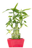Bamboo in a pot Stock Image