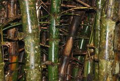 Bamboo, predominant in tropical forests, captured in Summit Park, Panama. stock image