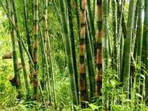 Bamboo in a Rainforest Royalty Free Stock Image