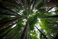 Bamboo reaches for the sky. Thick stalks of bamboo in a rain forest like setting Stock Photography