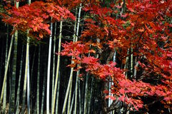 Bamboo red maple Royalty Free Stock Photos