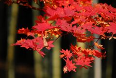 Bamboo red maple. Bamboo forest and maple tree in autumn foliage Stock Photography