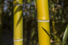 Bamboo reeds Stock Photography