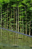 Bamboo with reflect in water Royalty Free Stock Photo